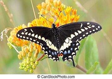 Black swallowtail Butterfly Papilio polyxenes on orange...