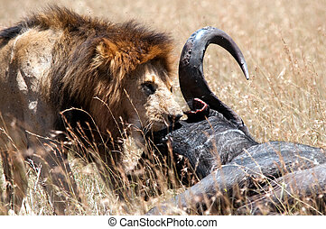 Male lion & his prey - Up close & personal with a male lion...