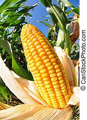maíz, campo