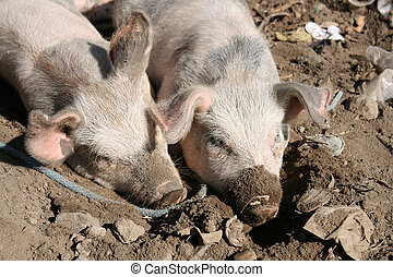 Pigs in Mud - Pigs wallowing in a pit of mud while waiting...