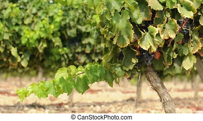 Vineyards and grapes - Vineyards and cluster grapes