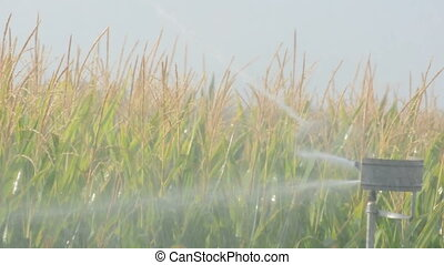 Watering the corn plantation.