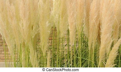 Crema color fluffy plants close upFluffy feathery plant