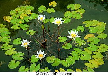 Lotus grove. - A white lotus pond.