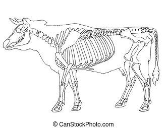 Cow skeleton on white background