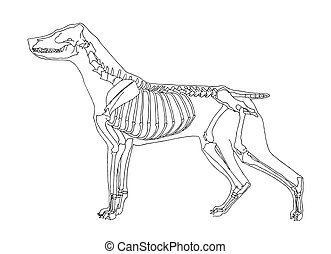 Dog skeleton on white background