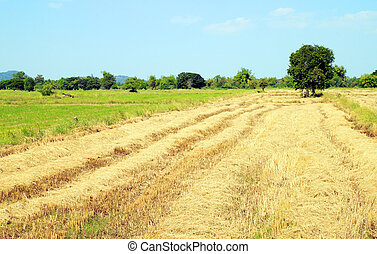 straw by product from rice field - straw by product from...
