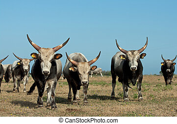 bulls Maremma - breeding bulls in the wild Maremma