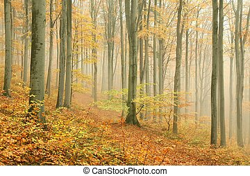 Autumn beech forest surrounded by mountain mist