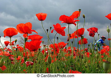 The cyclist and the wild poppies - Wild poppies and their...