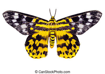butterfly moth Dysphania subrepleta isolated on white...