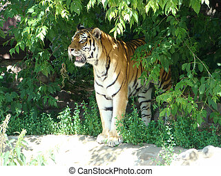 Amur tiger Panthera tigris altaica the largest of tigers