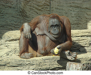 Orangutan Pongo pygmaeus sits and eats an orange