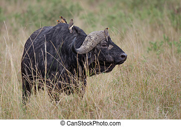Cape Buffalo - A Cape Buffalo with 4 oxpeckers The African...