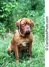 Dogue de Bordeaux portrait on the grass in summer park....