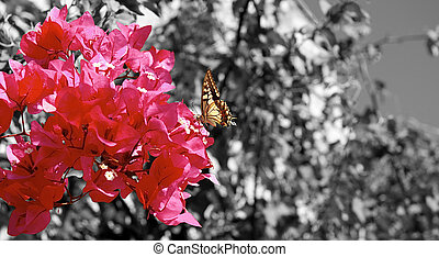 Butterfly on a fuchsia bouganville flower with black and...