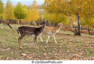 fallow deer young buck