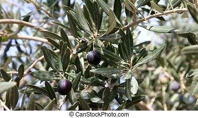 Olive tree, close-up