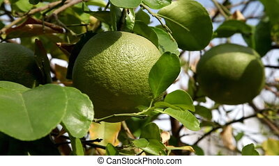 Picking grapefruit from tree