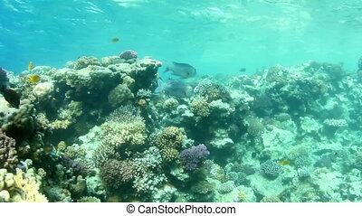 Bigeye emperor shoal - Shoal of Bigeye emperor, swimming...