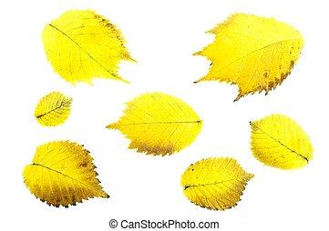 feuilles, aulne