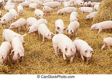 young piglet on hay at pig farm - herd of young piglet on...