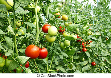 Red tomatoes ripening in greenhouse - A lot of red tomatoes...