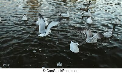 Seagulls and ducks on the water - Seagulls and ducks...