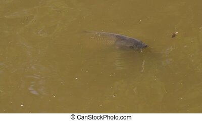 speaking carp on surface of a pond for advertising