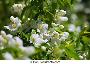 apple  branch in spring