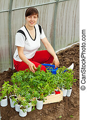 woman planting tomato seedling in hothouse
