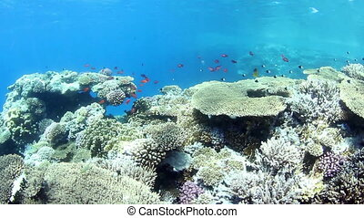 Coral reef - Shallow water coral reef and small fishes in...
