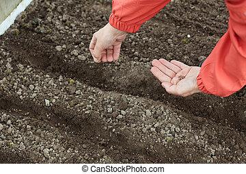 gardener sows seeds in soil - Closeup of gardener sows seeds...