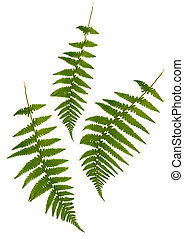 Fern Simplicity - Three green fern leaves isolated over...