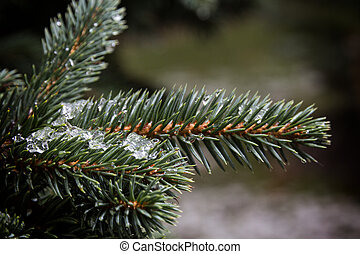 fir branch close up with first snow
