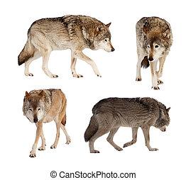 kevés, felett, állhatatos, farkasok, fehér