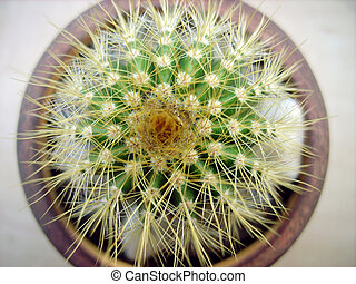 Cactus - Small cactus on white background in macro