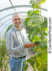 Male farmer looks cucumbers plant in greenhouse