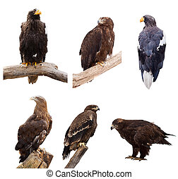 Set of eagles Isolated over white background