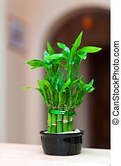 lucky bamboo plant - lucky bamboo plant in pot at house...