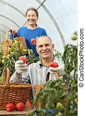Woman and man picking tomato in greenhouse