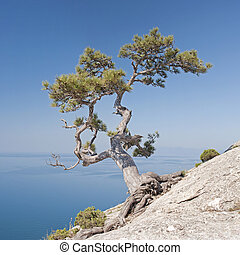Lonely pine on the rock's flank above the sea