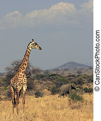 graf en olifant - afrika