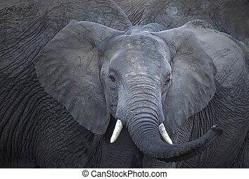 olifant - afrika