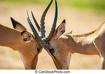 Impala butting heads in Chobe National Park