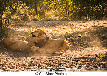 Lions fighting - Older lion biting younger lion's leg in a...