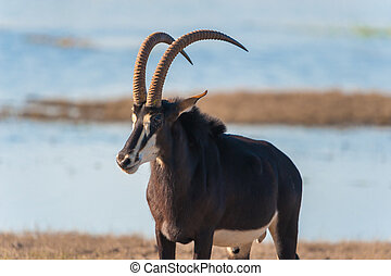 Roan Hippotragus equinus in Chobe National Park