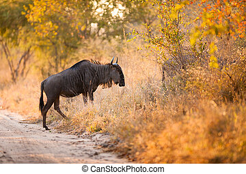 A Blue Wildebeest (Connochaetes taurinus) - A blue...