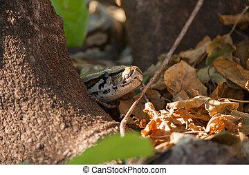 African rock python head (Python sebae sebae) among leaves