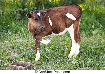 The little cow is standing in the green grass - The calf is...